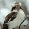 Kookaburra, The  Spit,