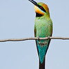 Rainbow Bee- Eater, Byron Bay, NSW.