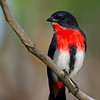 Mistletoe Bird, Narrowneck, Gold Coast, Qld