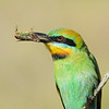 Rainbow Bee-eater with a cicada