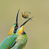 Rainbow Bee-eater (Merops ornatus) tossing a cicada