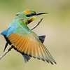 Rainbow Bee-eater Stretching