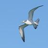 Crested Tern (Thalasseus Bergii) Immature