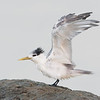 Immature Crested Terns (Thalasseus Bergii)