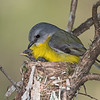Eastern Yellow Robin Chicks (Eopsaltria australis)