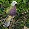 Woompoo Fruit- Dove