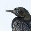 Cormorant, Federation Walk Coastal Reserve