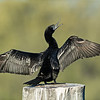 Little Black Cormorant