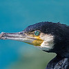 Great Cormorant (Phalacrocorax carbo)