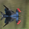 Purple Swamphen (Porphyrio porphyrio)
