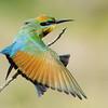 Rainbow Bee-eater having a stretch