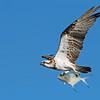 Eastern Osprey (Pandion haliaetus)