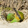 Rainbow Bee-eater (Merops ornatus) chick at nest