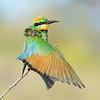 Rainbow Bee-eater (Merops ornatus) stretching