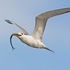 Crested Tern (Thalasseus Bergii) with a Fish