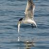 Common Tern Feeding