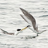 Crested Terns exchanging food