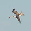 Crested Tern (Thalasseus Bergii) Catching a fish