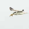 Immature Crested Tern (Thalasseus Bergii) with a Shrimp