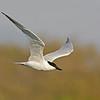 Gull-Billed Tern ( Gelochelidon nilotica )