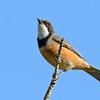 Rufous Whistler (Pachycephala rufiventris)