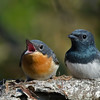 Leaden Flycatchers (Myiagra rubecula)