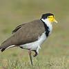 Masked Lapwing (Vanellus miles)